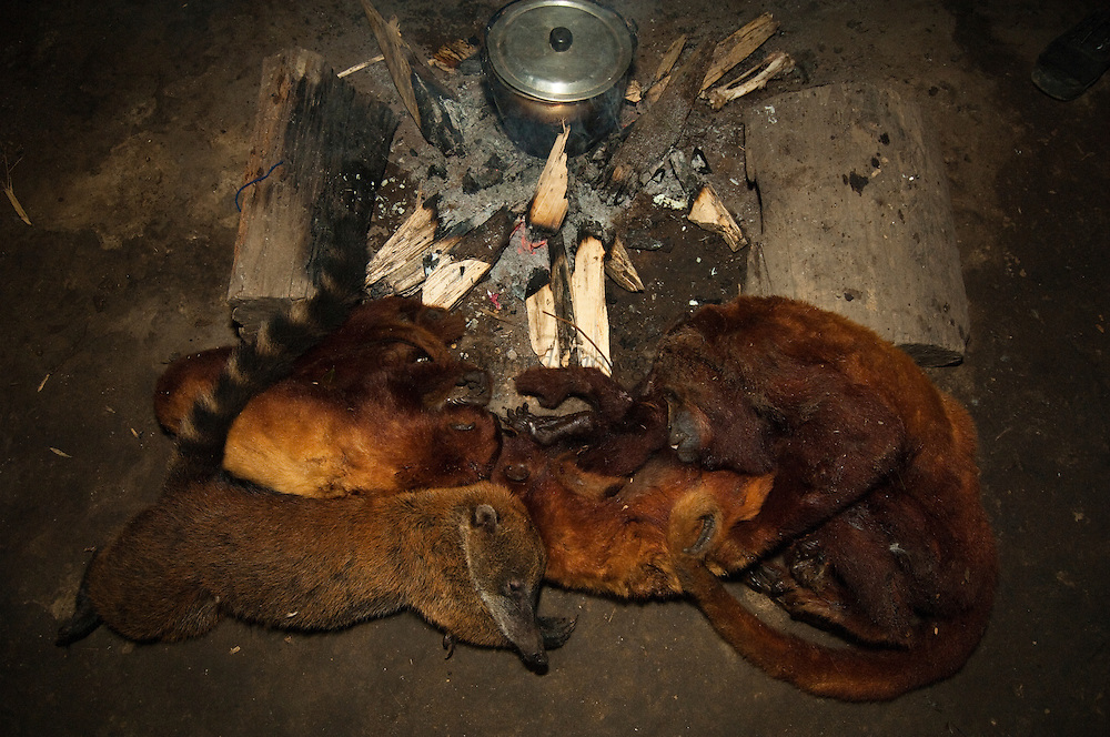 Bushmeat hunted by Huaorani Indians. Gabaro Community. Yasuni National Park.<br /> Amazon rainforest, ECUADOR.  South America<br /> South American Coati (Nasua nasua), and three Red Howler monkeys (Alouatta seniculus) hunted with a blowgun<br /> This Indian tribe were basically uncontacted until 1956 when missionaries from the Summer Institute of Linguistics made contact with them. However there are still some groups from the tribe that remain uncontacted.  They are known as the Tagaeri & Taromenani. Traditionally these Indians were very hostile and killed many people who tried to enter into their territory. Their territory is in the Yasuni National Park which is now also being exploited for oil.