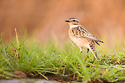 Female Whinchat (Saxicola rubetra) a small migratory passerine bird that breeds in Europe and western Asia and winters in Africa. Photographed in Ein Afek Nature Reserve, Israel in September