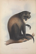 Sykes' monkey (Cercopithecus albogularis) also known as the white-throated monkey or Samango monkey, From the book Zoologia typica; or, Figures of new and rare animals and birds described in the proceedings, or exhibited in the collections of the Zoological Society of London. By Fraser, Louis. Zoological Society of London. Published by the author in London, March 1847