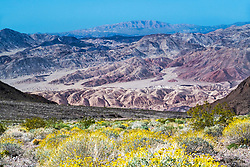 Wildflowers, Death Valley, California.