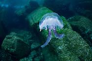 Mauve stinger jellyfish-Méduse (Pelagia noctiluca) of mediterranean sea.