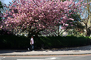 Pink spring blossom tree in Marylebone, London, England, United Kingdom.