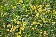 Alpine wildflowers, Forget-Me-Not, Myosotis alpestris, and Mountain Cowslip, Primula auriculata, Swiss Alps meadow, Switzerland