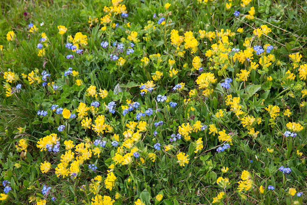 Alpine wildflowers, Forget-Me-Not, Myosotis alpestris, and Mountain Cowslip, Primula auriculata, Swiss Alps meadow, Switzerland