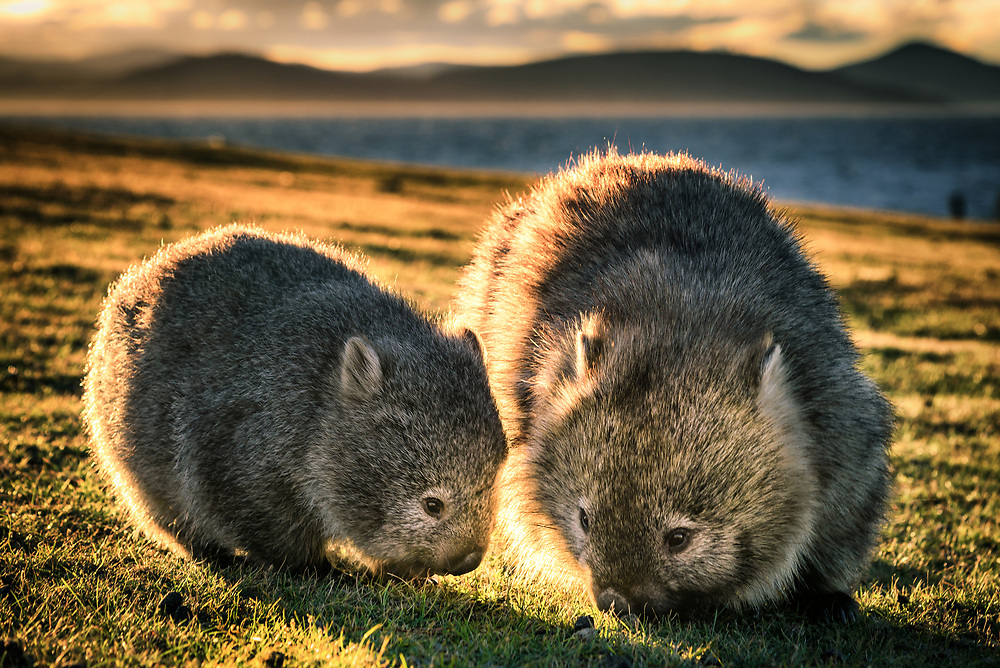 Baby wombat with its mother at Maria Island.