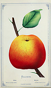 The Baldwin apple is a bright red winter apple, very good in quality, and easily shipped. It was for many years the most popular apple in New England, New York, and for export from the United States of America. It has also been known as 'Calville Butter', 'Felch', 'Late Baldwin', 'Pecker', 'Red Baldwin's Pippin', 'Steele's Red Winter', and 'Woodpecker'. from Dewey's Pocket Series ' The nurseryman's pocket specimen book : colored from nature : fruits, flowers, ornamental trees, shrubs, roses, &c by Dewey, D. M. (Dellon Marcus), 1819-1889, publisher; Mason, S.F Published in Rochester, NY by D.M. Dewey in 1872
