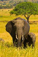 A herd of African elephants, Tarangire National Park, Tanzania