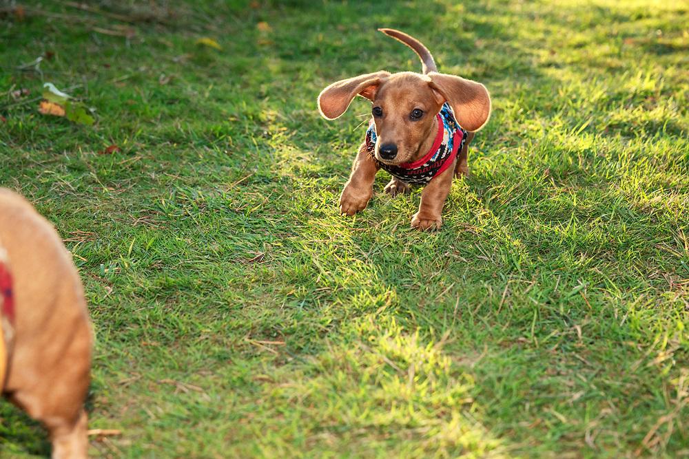 Dachshund puppy running thru the grass