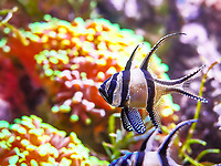 Banggai cardinalfish - Poisson Cardinal de Banggai (Pterapogon kauderni)