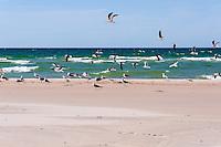 Sweden, Gotska Sandön national park, Bredandsudden. Baltic Lesser Black-backed Gulls.