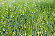 Unripe barley crop grows at Asthall, The Cotswolds, Oxfordshire, UK