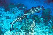 tiger grouper, Mycteroperca tigris,<br /> courtship display<br /> Grand Cayman Island ( Caribbean Sea )