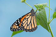Monarch Butterfly, Danaus plexippus, North & Central America, hanging on shrub against blue sky background, orange and black wing pattern