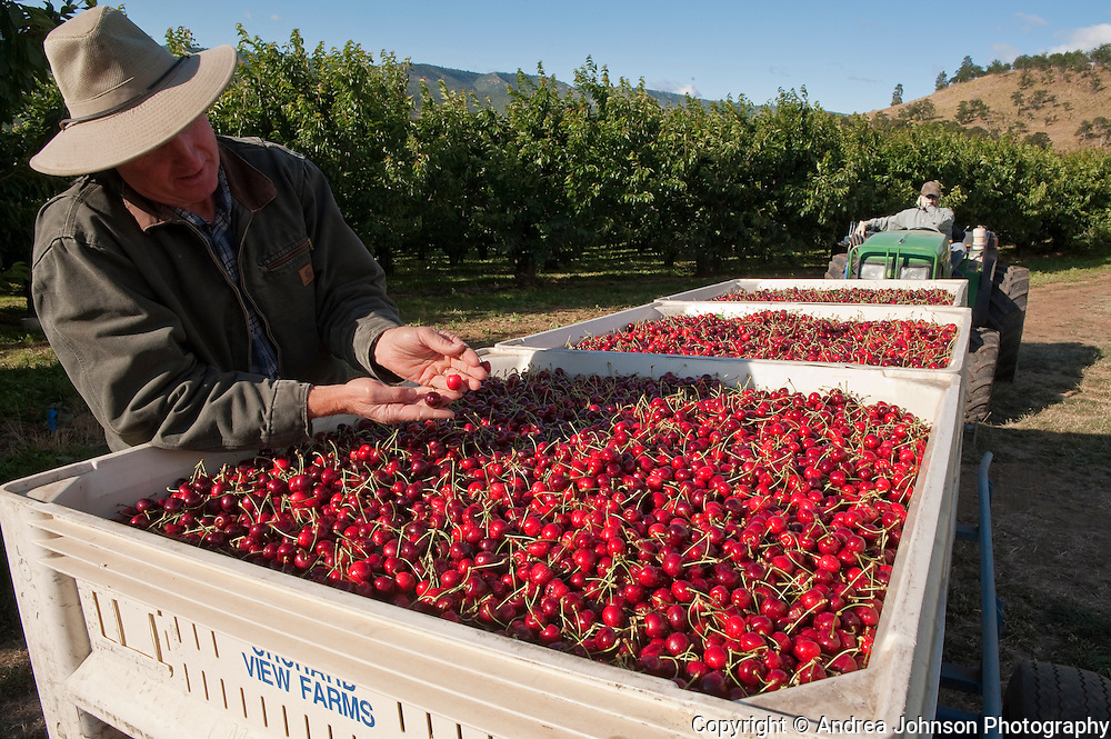Horticultural & Orchard manager Eric Shrum, Orchard View Farms cherry harvest, The Dalles, Columbia River Gorge, Oregon