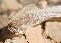 Shed skin of Alameda whipsnake, Masticophis lateralis euryxanthus, a Federal- and State-listed Threatened Species.  Mount Diablo State Park, California.