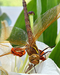 07-08-2015 NED: Bruine glazenmaker libelle, Maarssen<br /> Natuur, libelle bruie glazenmaker op een lelie
