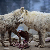 030115  Adron Gardner/Independent<br /> <br /> Arctic wolves in the Westeros five enclosure wolves pace near a carcas at the Wild Spirit Wolf Sanctuary in Candy Kitchen Saturday.