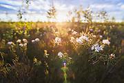 "Blooming marsh Labrador tea (Ledum palustre) in bright morning sunlight, protected landscape area ""Ādaži"", Latvia Ⓒ Davis Ulands | davisulands.com"