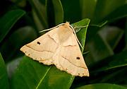 Close-up of a Scalloped oak moth (Crocallis elinguaria) resting on a leaf in a Norfolk garden in summer