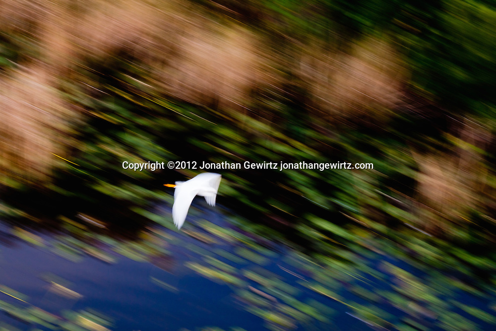 A white egret flies against the colorful natural background of a pond and green vegetation in the Shark Valley section of Everglades National Park, Florida. WATERMARKS WILL NOT APPEAR ON PRINTS OR LICENSED IMAGES.