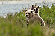 Brother and sister Brown bears together at the McNeil River State Game Sanctuary on the Kenai Peninsula, Alaska. The bears were once cubs together but separated as adults and reunited during the summer feeding at McNeil River. The remote site is accessed only with a special permit and is the world's largest seasonal population of brown bears in their natural environment.