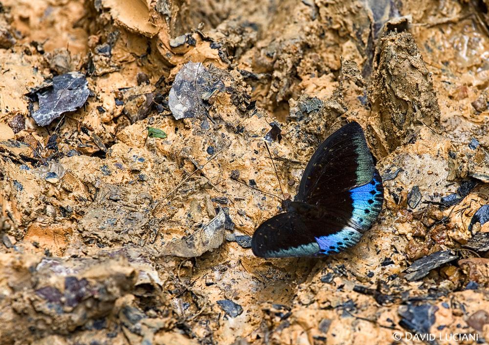 "A male ""Lexias Pardalis"" butterfly."
