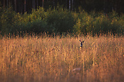 Pair of Roe deer (Capreolus capreolus) in sunset illuminated meadow