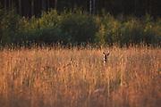 Pair of Roe deer (Capreolus capreolus) in sunset illuminated meadow