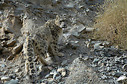 Leh - Friday, Dec. 1, 2006: An adult male snow leopard (Unica unica) standing on a stoney slope in Hemis National Park, Ladakh. (Photo by Peter Horrell / www.peterhorrell.com)
