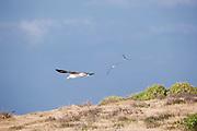 Three Laysan Albatross in flight at Kaena Point, Oahu.