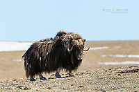 Muskox on Somerset Island, Nunavut, Canada