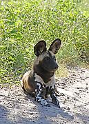 AFRICAN WILD DOG  Lycaon pictus LYING ON SANDY TRACK IN THE OKAVANGO DELTA, BOTSWANA, AFRICA