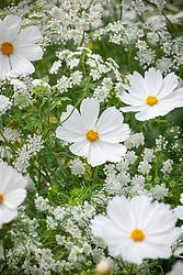 Cosmos bipinnatus 'Purity' with Ammi majus - Bullwort, Common bishop's weed