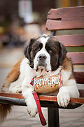 Close-up of St Bernard rescue dog lying down on bench in Bariloche, Argentina