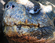 Giant tortoise, Galapagos Islands.