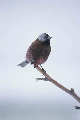 Gray-Crowned Rosy Finch, (Leucosticte arctoa) On branch. Alaska.