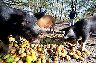 Farmer Sean Thackery looks on while a herd  of his  heritage Berkshire pigs eat tomatoes grown at Thackery Farm on Wadamalaw Island, South Carolina.