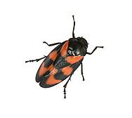 Black-and-red Froghopper - Cercopis vulnerata