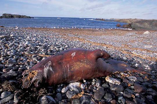 Northern Elephant Seal, (Mirounga angustirostris)  Dead baby seal on San Benito Island. Mexico.