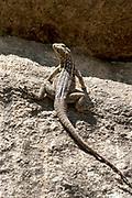 Dumeril's Madagascar Swift Iguana, Oplurus quadrimaculatus, Anja Park, Madagascar, endemic, Madagascar spotted spiny tailed iguana,  Least Concern on the IUCN Red List