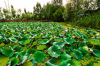 Lotus flowers, Dal Lake in Srinagar, Kashmir, Jammu and Kashmir State, India.
