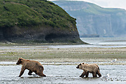 A brown bear cow walks ahead of her yearling cubs in the lower lagoon at the McNeil River State Game Sanctuary on the Kenai Peninsula, Alaska. The remote site is accessed only with a special permit and is the world's largest seasonal population of brown bears in their natural environment.