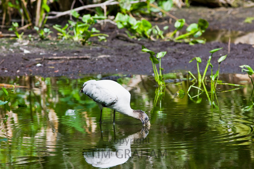 Typical Everglades scene endangered species wood stork in glade, Florida, United States of America