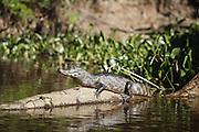 Pocone_MT, Brasil...Rio Cuiaba.Transpantaneira.Porto Jofre..Jacare do pantanal ..Foto: JOAO MARCOS ROSA / NITRO