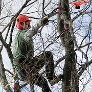 """April 18, 2009 -- BATH, Maine. Bill Guess of Trenton, Maine reaches out to ring a bell while competing in a tree climbing competition in Library Park in Bath on Saturday afternoon. Six professional arborists from around New England raced against each other in several different events. In this event climbers had to ring several bells placed in different parts of the same tree. The climber to achieve the fastest time won. Organizer Tim Lindsay of Scarborough said, """"It's a fun event and we are a supportive community . . .  we learn and are able to share best practices in safety -- while still competing against each other. """" Photo by Roger S. Duncan."""