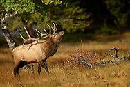 Bull Elk in the afternoon light