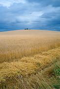 Tractor tracks in a cornfield in Cambridgeshire, England