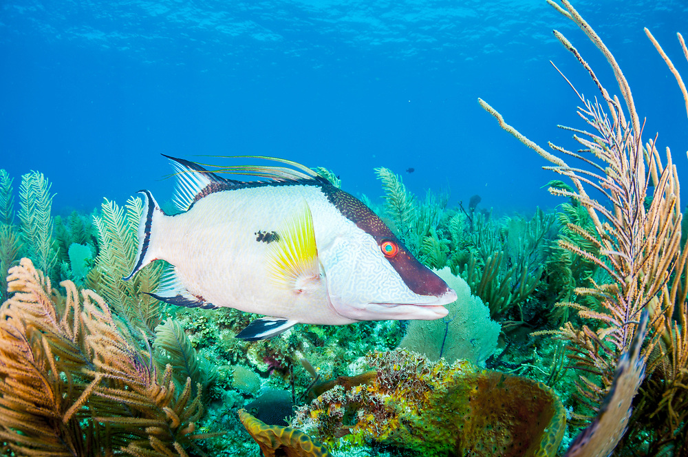 A hogfish (Lachnolaimus maximus) on a coral reef in Jardines de la Reina, Gardens of the Queen, Cuba