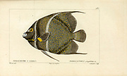Pomacanthus from Histoire naturelle des poissons (Natural History of Fish) is a 22-volume treatment of ichthyology published in 1828-1849 by the French savant Georges Cuvier (1769-1832) and his student and successor Achille Valenciennes (1794-1865).