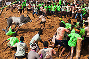 A man falls after trying to tame a charging bull in the Palamadu Jallikattu.